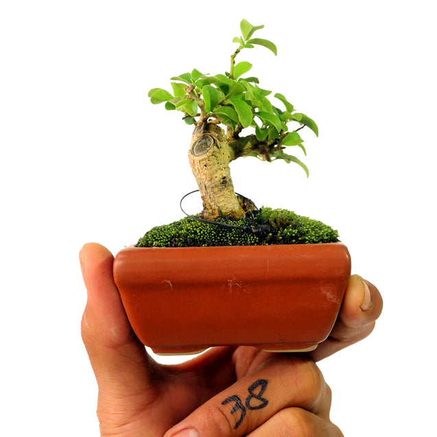 Mame Bonsai Cudrania Chochinchinensis 50.38
