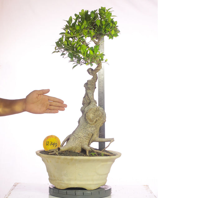 Bonsai Ficus Microcarpa 13.749 - kebunbibit
