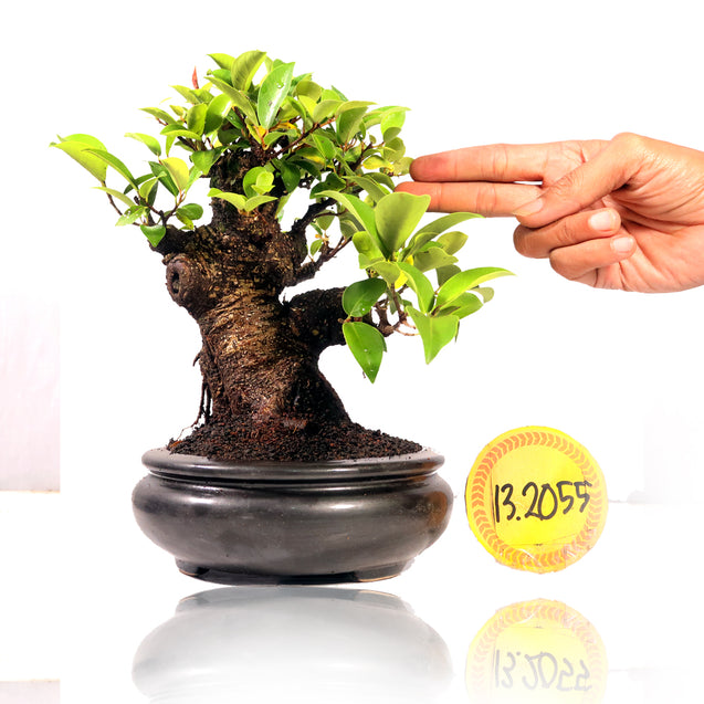 Bonsai Ficus Microcarpa 13.2055 - kebunbibit