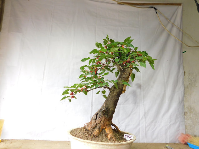 Bonsai Morus Alba 05.597 - kebunbibit