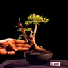 Bonsai Serissa Foetida with Tanuki 12.1498 by Gimu