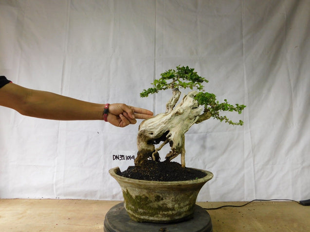 Bonsai Duranta erecta 35.1014 WITH TANUKI - kebunbibit