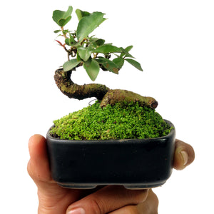 Mame Bonsai Cudrania Chochinchinensis 50.1607 - kebunbibit