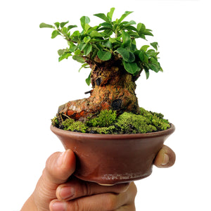 Mame Bonsai Cudrania Chochinchinensis 50.48 - kebunbibit