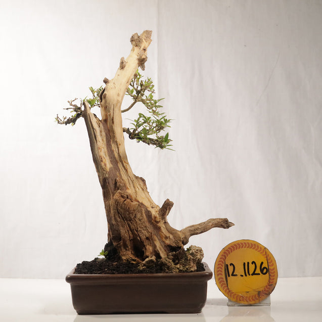 Bonsai Serissa Foetida 12.1126 With Tanuki