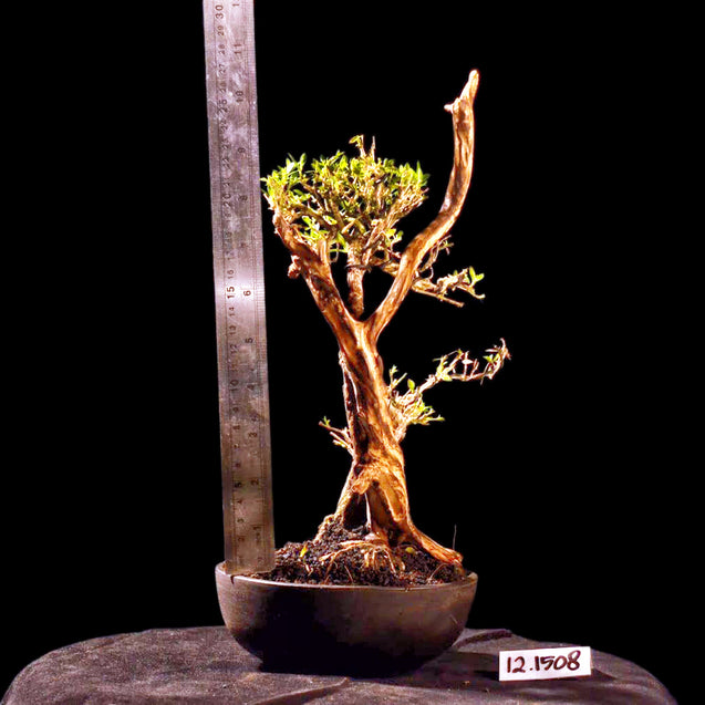 Bonsai Serissa Foetida with Tanuki 12.1508 R