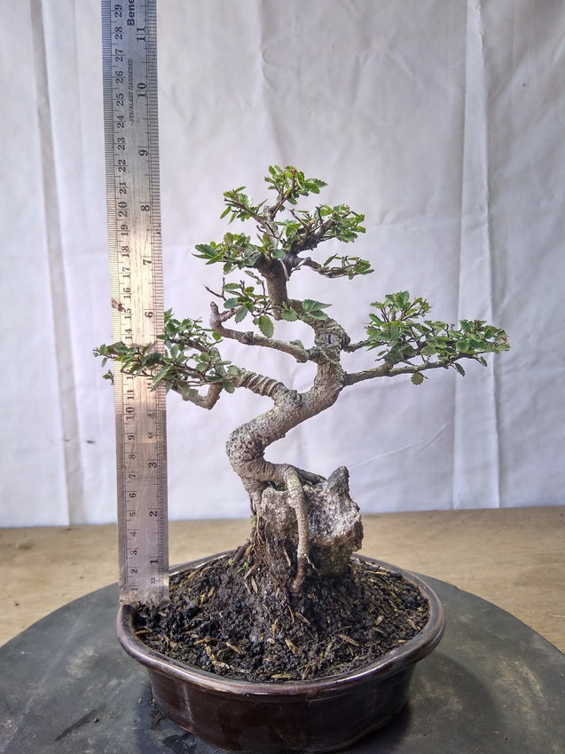 Bonsai Ulmus Lancaefolia Ref 23.357 ON THE ROCK