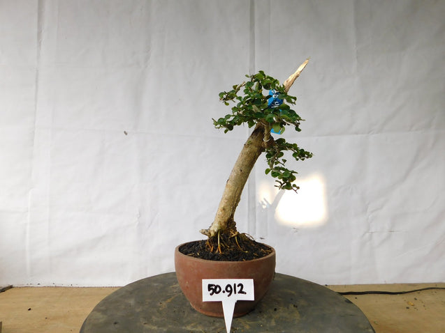 Bonsai Cudrania Cochinchinensis 50.912 - kebunbibit
