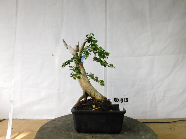 Bonsai Cudrania Chochinchinensis 50.913 - kebunbibit