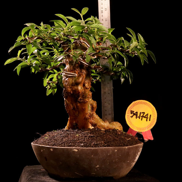Bonsai Psidium Guajava 54.1741 - kebunbibit