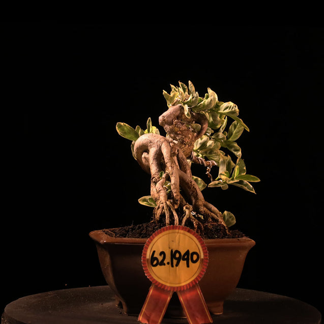 Bonsai Variegated Premna Microphylla 62.1940 - kebunbibit