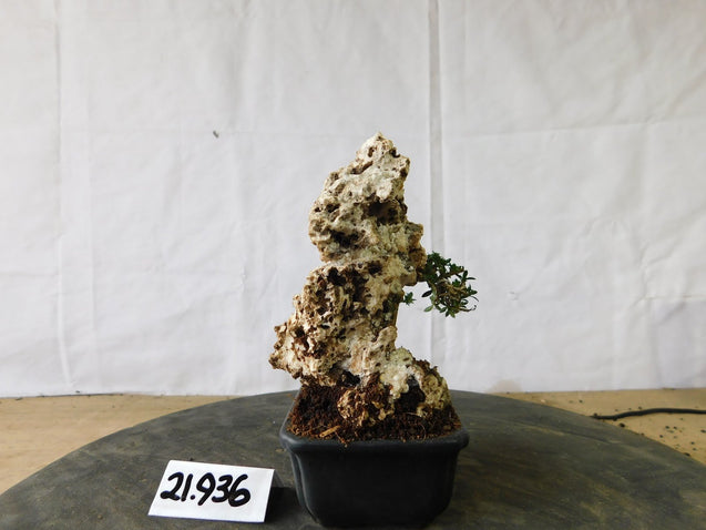 Bonsai Serissa Foetida Micro ON THE ROCK 21.936