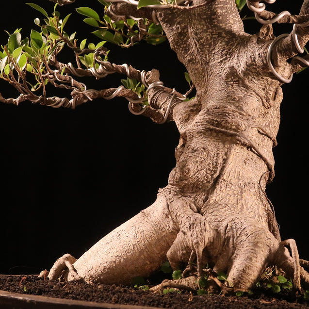 Bonsai Ficus Microcarpa J10i - kebunbibit
