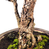 Bonsai Morus Alba 05.2051 - kebunbibit