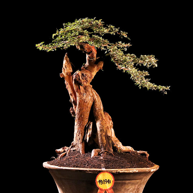 Bonsai Acacia Arabica 49.1941 - kebunbibit