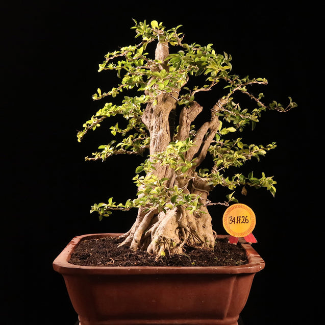 Bonsai Duranta Erecta 34.1726 - kebunbibit