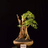 Bonsai Duranta Erecta With Tanuki 34.1620 - kebunbibit