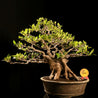Bonsai Ficus Microcarpa Approximately 20 Years Old - kebunbibit