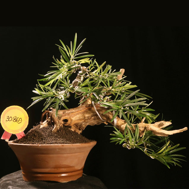Bonsai Podocarpus Macrophyllus 30.896 WITH TANUKI - kebunbibit