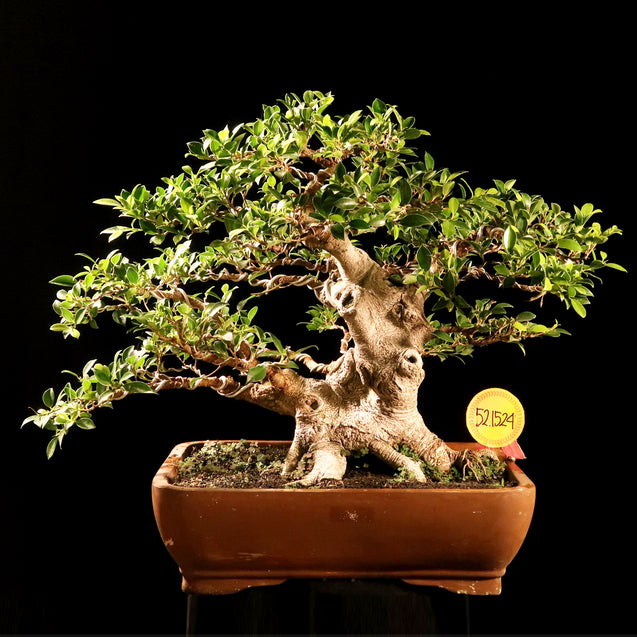 Bonsai Ficus Microcarpa 52.1524 - kebunbibit