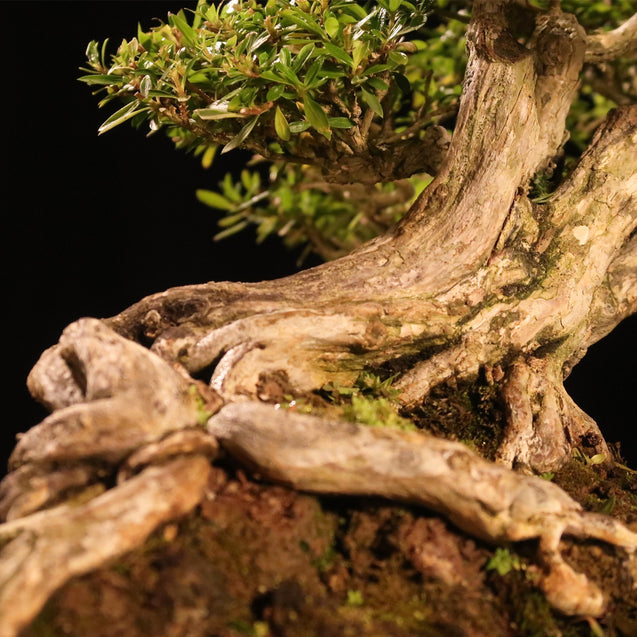 Bonsai Serissa Foetida 12.368 SLEEPING BEAUTY