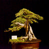 Bonsai Ulmus Lancaefolia With Tanuki  15.1671 25 YEARS OLD