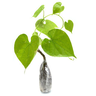 Tinospora Cordifolia (Heart-Leaved Moonseed) - kebunbibit