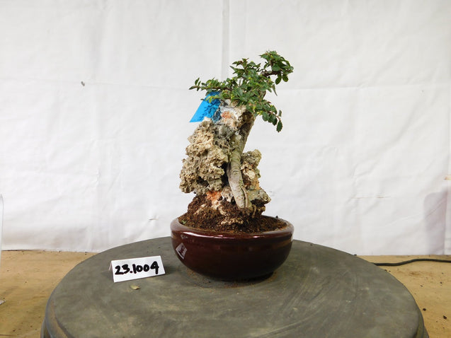 Bonsai Ulmus Lancaefolia ON THE ROCK 23.1004