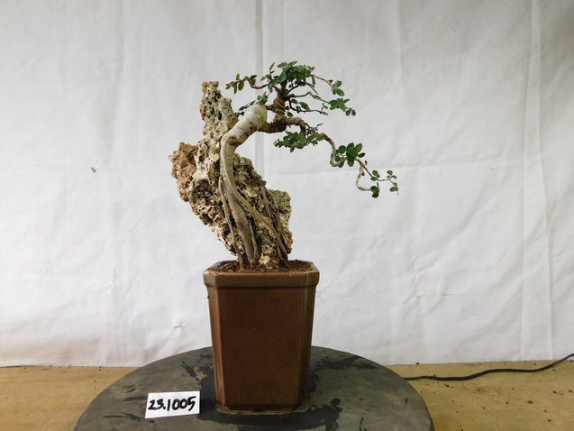 Bonsai Ulmus Lancaefolia ON THE ROCK 23.1005