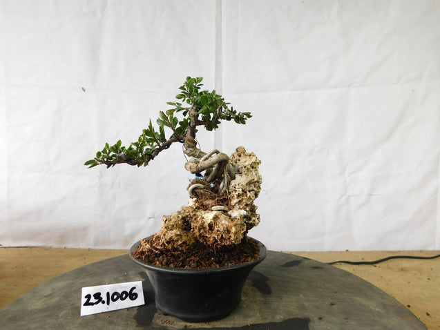 Bonsai Ulmus Lancaefolia ON THE ROCK 23.1006