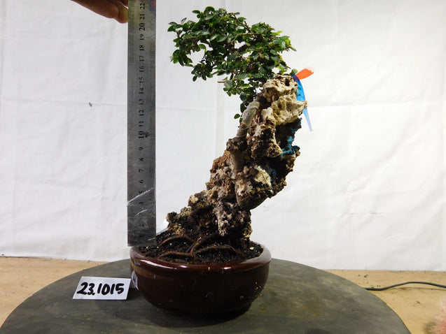 Bonsai Ulmus Lancaefolia ON THE ROCK 23.1015 - kebunbibit
