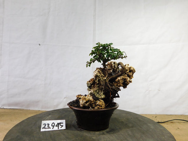 Bonsai Ulmus Lancaefolia ON THE ROCK 23.945