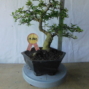 Bonsai Zanthoxyllum Piperitium 19.1769 - bonsaiupdate