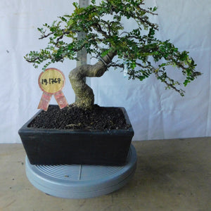 Bonsai Zanthoxyllum Piperitium 19.1767 - bonsaiupdate