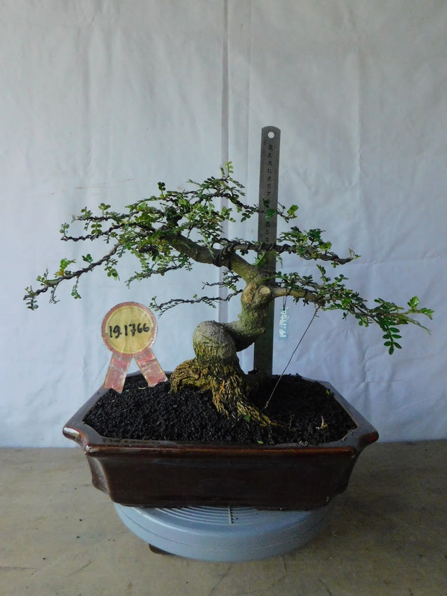 Bonsai Zanthoxyllum Piperitium 19.1766 - bonsaiupdate