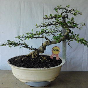Bonsai Zanthoxyllum Piperitium 19.1774 - bonsaiupdate