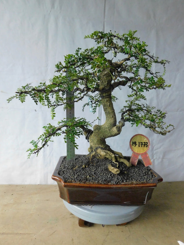 Bonsai Zanthoxyllum Piperitium 19.1773 - bonsaiupdate