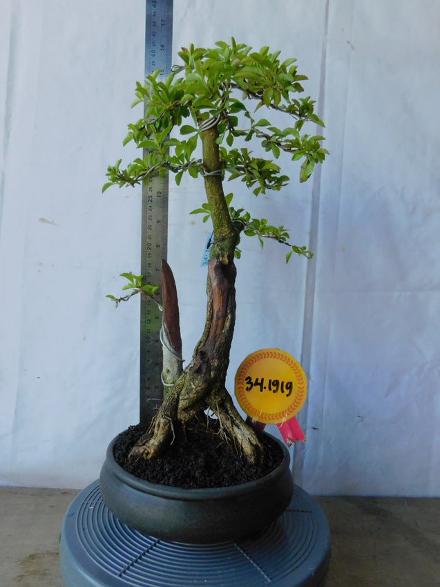 Bonsai Duranta Erecta 34.1919 - kebunbibit