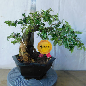 Bonsai Zanthoxylum Piperitum 19.1722