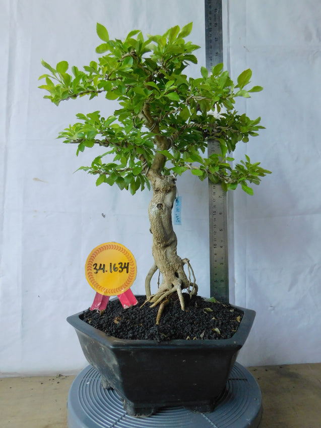 Bonsai Duranta Erecta 34.1634 - kebunbibit