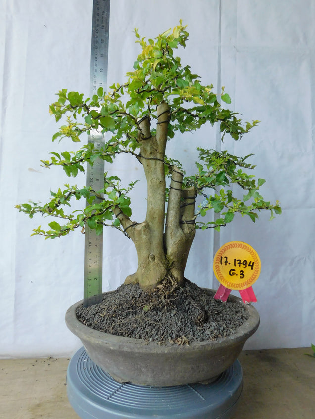 Bonsai Duranta Erecta 34.1794 - kebunbibit
