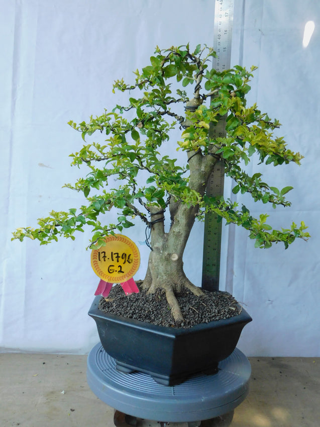 Bonsai Ligustrum Golden 17.1796 - kebunbibit
