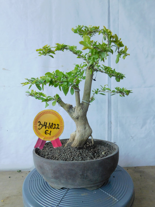 Bonsai Duranta Erecta 34.1822 - kebunbibit