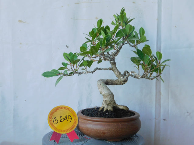Bonsai Ficus Microcarpa 13.649 - kebunbibit