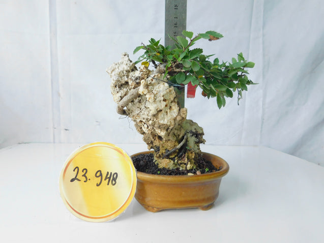 Bonsai Ulmus Lancaefolia 23.948 ON THE ROCK