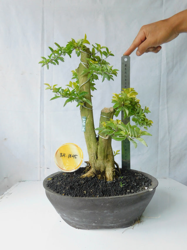 Bonsai Duranta Erecta 34.1845 - kebunbibit