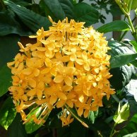 Ixora Sp (Yellow Ixora) - kebunbibit