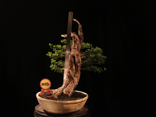 Bonsai Cudrania Cochinchinesis with TANUKI 50.726