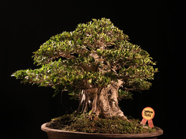 Bonsai Ficus Microcarpa Jamon Sugi - kebunbibit