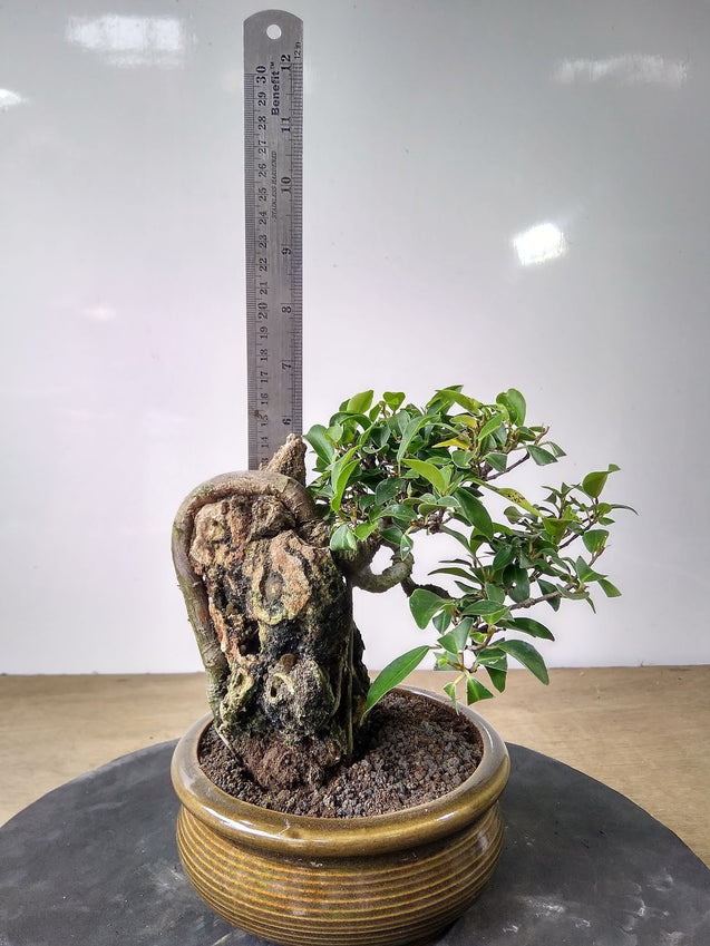 Bonsai Ficus Benjamina Origin Philippines ON THE ROCK - kebunbibit